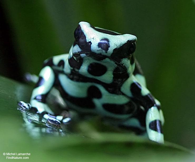 Les Serpent comment les reconnaître ?  Dendrobate-vert-noir