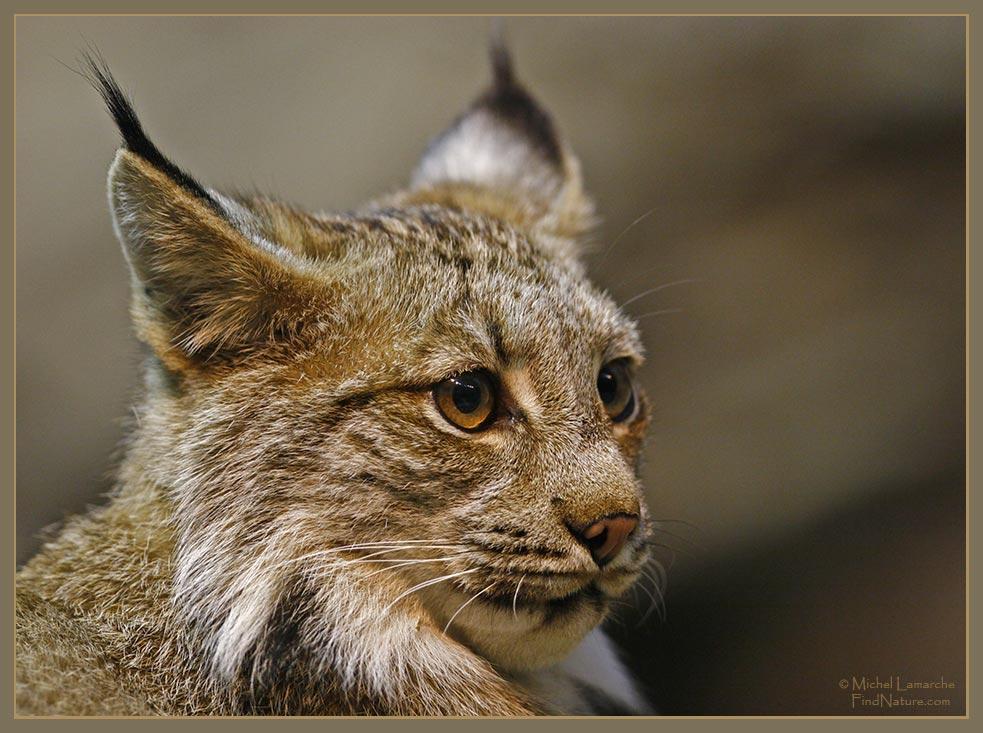 Domestic Bobcat Hybrid