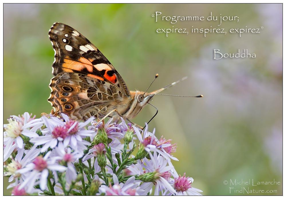 papillon vanesse des chardons la belle dame vanessa cardui painted lady cynthia cardui st bruno qubec 2012 10 05