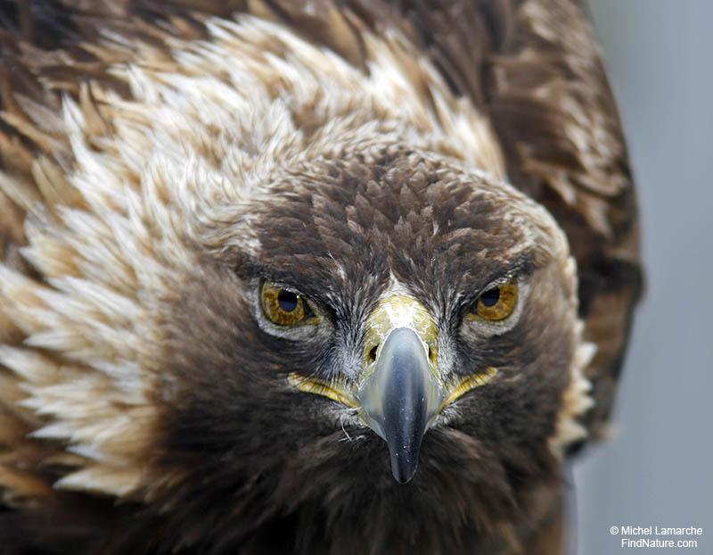 Edwin le Corbeau. Aigle-royal-4