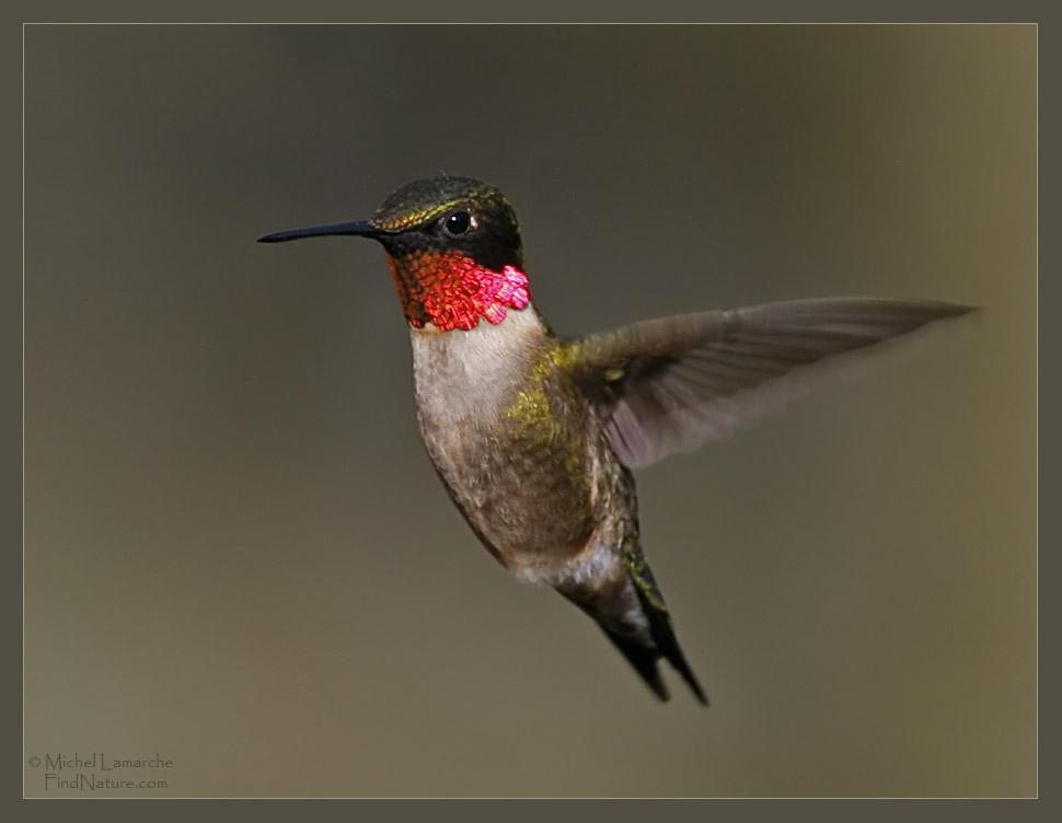 http://www.findnature.com/oiseaux/colibri-gorge-rubis-male-16.jpg