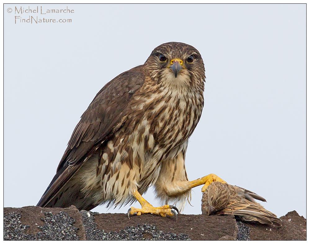oiseaux faucon oiseaux faucon findnature com photos faucon
