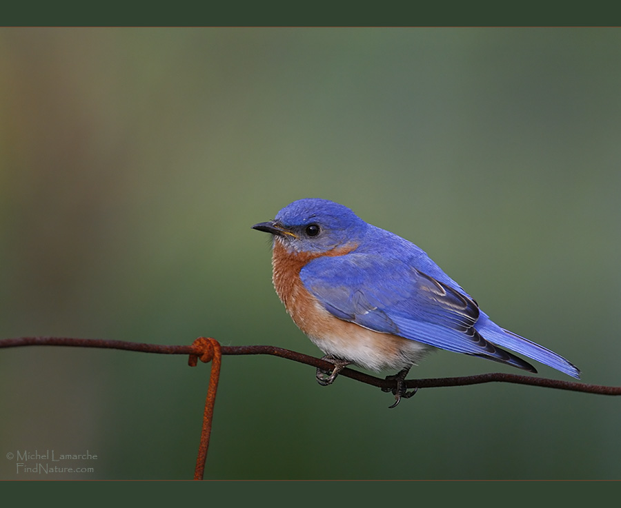 Photos merlebleu de l 39 est eastern for Oiseau bleu et orange