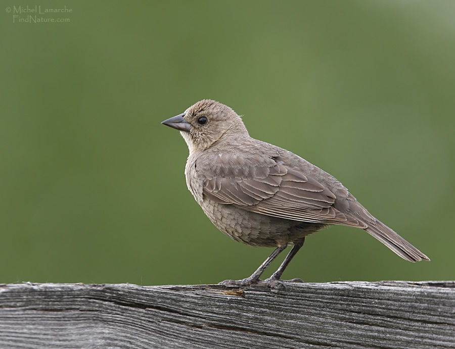 Brownheaded Cowbird  Laying an egg in a Northern