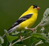 Bird photos visual and alphabetic index for Oiseau jaune et noir