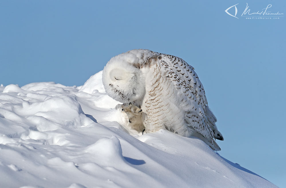 Find A Code >> FindNature.com - Photos - Harfang des neiges, Snowy Owl ...