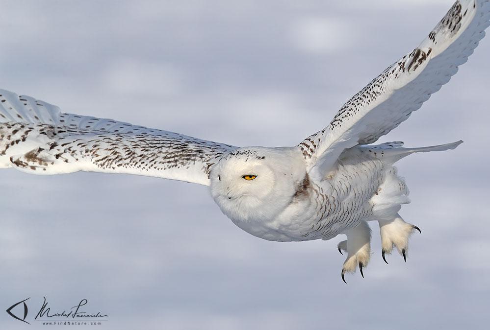 https://www.findnature.com/oiseaux/harfang-neiges-083.jpg